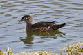 Watchful female wood duck a swimming near some vegetation in a pond Royalty Free Stock Photos