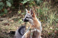 Watchful gray fox Royalty Free Stock Image