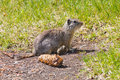 Watchful ground squirrel outside the den in the grass Royalty Free Stock Photography