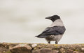 A watchful hooded crow an alert and intelligent corvus cornix looks at something which has called it s attention Stock Photos