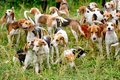 Watchful hunting dogs, hunter hounds, beagle dogs, beagle hounds waiting for hunt Royalty Free Stock Photo