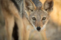A watchful jackal in the late afternoon in etosha namibia Royalty Free Stock Photo