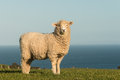 Watchful lamb standing on meadow close up of Royalty Free Stock Images