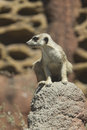 Watchful meerkat on rock a at the point defiance zoo in tacoma washington Royalty Free Stock Photo