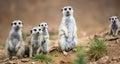 Watchful meerkats standing guard Royalty Free Stock Photo
