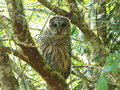 A watchful  Northwest Barred Owl hunting Royalty Free Stock Photo
