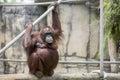 The watchful orangutan keeping a eye on her fellow orangutans Stock Photo