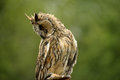 Watchful owl Royalty Free Stock Photography