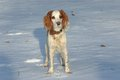 The watchful red and white puppy of spaniel in winter sunset Royalty Free Stock Photo