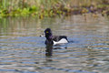 Watchful ring necked duck male making ripples on a pond Royalty Free Stock Images