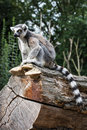 Watchful ring tailed lemur sitting on the tree trunk catta animal theme Stock Photo
