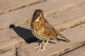 Watchful song thrush close up of Stock Images