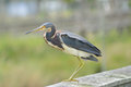 Watchful Tricolored Heron Stock Photos