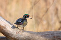 Watchful wood duck a male perched on a log Royalty Free Stock Photography