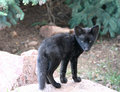 Watching black fox kit Royalty Free Stock Photo