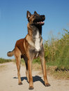 Watching malinois Royalty Free Stock Image