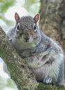 Watching you a rather plump tame squirrel awaits his next titbit from his tree Royalty Free Stock Image