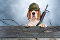 Watchman the sentry dog in a helmet very attentively observes Stock Photography