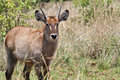 Water Buck Royalty Free Stock Photography