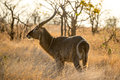 Water buck a male african during sunset Stock Photography