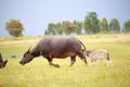 Water buffalo and baby Royalty Free Stock Photo