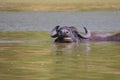 Water buffalo (Bubalus bubalis). Royalty Free Stock Photo