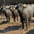 Water buffalo Royalty Free Stock Photo