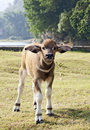 Water Buffalo Calf Royalty Free Stock Photos