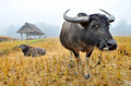 Water buffalo in country field of northern thailand Stock Photography
