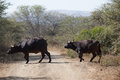 Water buffalo cross dirt road wildlife two crossing to river for drink from the bush thorn trees in the imfolozi animal park Stock Images