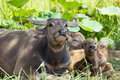 Water Buffalo family Royalty Free Stock Photo