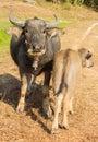Water buffalo in farm Royalty Free Stock Photo