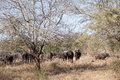 Water buffalo herd bush wildlife of in the thorn trees for shade and protection in the imfolozi animal park reserve Stock Images