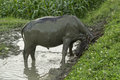 Water buffalo in mud II Royalty Free Stock Photo