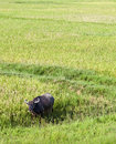 Water Buffalo in Rice Paddy Stock Photo