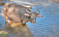 Water buffalo in river Royalty Free Stock Photos