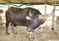 Water buffalo in stables resting Royalty Free Stock Photography