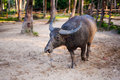 Water buffalo on the sunset in thailand Stock Image