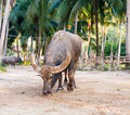 Water buffalo on the sunset in thailand Royalty Free Stock Photo