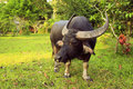 Water buffalo in Thailand Koh Samui. Royalty Free Stock Photo