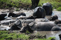 Water Buffalo Wallowing in Mud Stock Photo