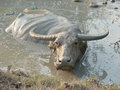 Water Buffalo Wallowing in a Mud Hole in Asia - Medium Royalty Free Stock Photo