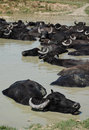 Water Buffalo Wallowing in Mud, Hungary Royalty Free Stock Photo