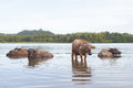 WATER BUFFALOES BATHING IN A RIVER Royalty Free Stock Photo