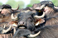 Water buffalos, Hortobagy National Park, Hungary Royalty Free Stock Photo
