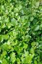 Water cress Royalty Free Stock Photo