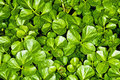 Water cress, Nasturtium officinale Stock Photo