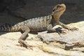 Water dragon basking portrait of an australian lizard on a rock Stock Image