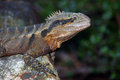 Water dragon eastern physignathus lesueurii brisbane australia Stock Photo