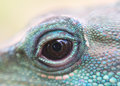 Water dragon iguana reptile eye close up Royalty Free Stock Photo